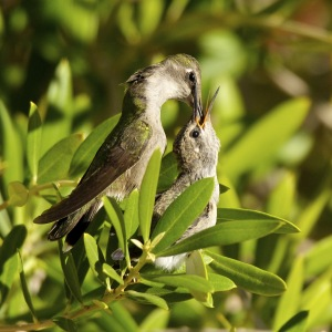 One of the Costa's Hummingbird young ones that fledged today at 21 days old.  It was in one of the bushes in DeeDee and Al's  backyard.  The second was on the back side of the bush where we could not easily see it. Photo by David Boyarski of Mesquite.