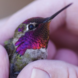 Male Anna's Hummingbird. Photo by David Boyarski of Mesquite.