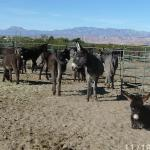 Third Annual Donkey Jamboree Coming to Golden West Casino