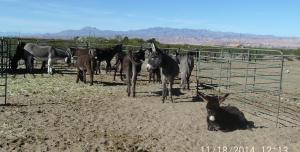 MLN-Donkeys1nov27-14