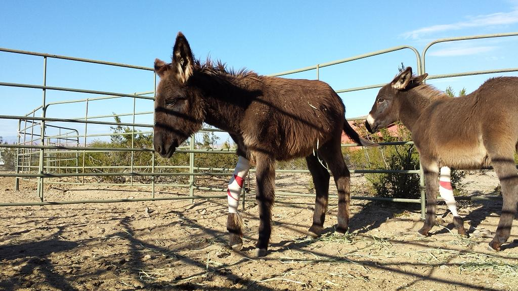 Baby donkeys Reno and Amber recovering from reconstructive orthopedic surgery.