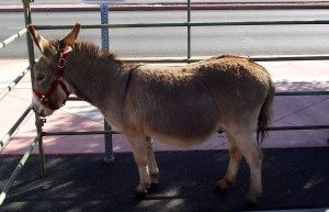 Footloose is a miniature donkey who was rescued and adopted after being abandoned by his previous owners and left to fend for himself. Photo by Teri Nehrenz.