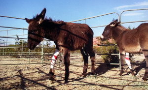 These donkeys were born with a genetic defect which  caused their front legs to twist and bow but thanks to the rescue efforts of the Peaceful Valley Donkey Rescue the defect were able to be surgically repaired so these young donkey siblings can run and play like normal donkeys. Photo by Teri Nehrenz.
