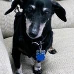 WCFA Pets Needing People: Blackie