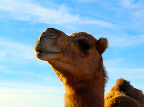 CAMEL SAFARI GRAND OPENING – FRIDAY, NOVEMBER 18th