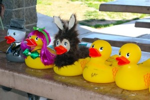 "Ducks from Mesquite Local News, Fusion Salon and Peaceful Valley Donkey Rescue were decked out for the day while other ducks like the two at the right were less decorated. Smith's Food and Drug, whose duck simply said, ""Smith's"" in writing on the right side of the duck, (far right) was the winner of the Duck around Town race held at Hafen Park on March 26. Being less weighted down was the strategy that won the race and the bragging rights of being the Chamber's 2016 ""Duck Around Town."" Photo by Teri Nehrenz."