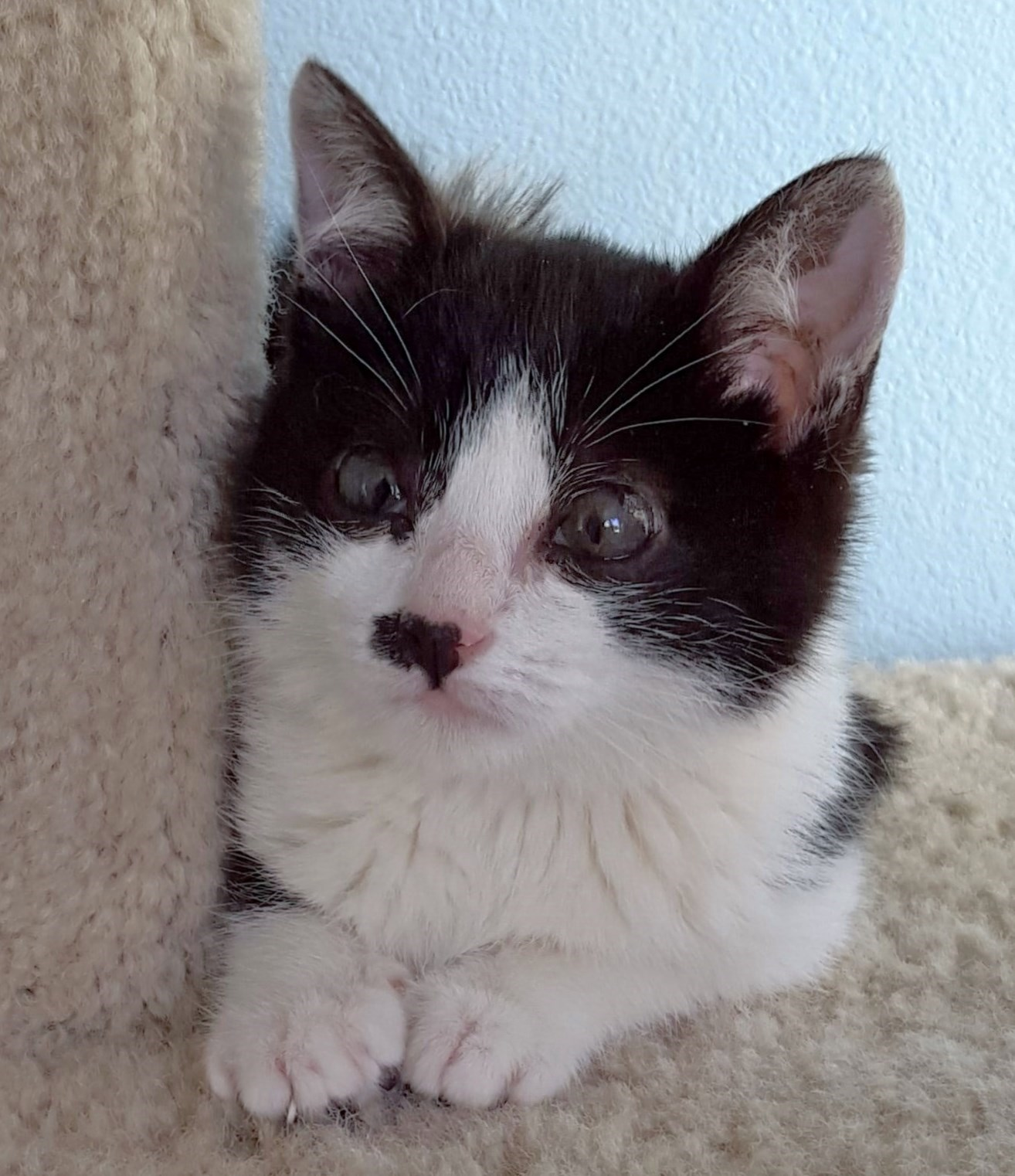 WCFA Pets Needing People: Oreo