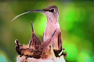 The mother hummingbird, Honey, feeds her chicks regularly over the course of the next three weeks so they'll grow.  The nest already has to expand to allow for the chicks growth and was once cylindrical is bulging at the sides and appearing more sphere-like.  Photo captured by Teri Nehrenz from the film footage shot by Don and Noriko Carroll.