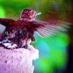 Hummingbirds – A new understanding
