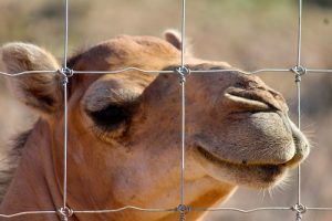 The camels are eager to have contacts with humans and will reach through the fence, especially if you have Brussel sprouts; it's their favorite treat.  Photo by Teri Nehrenz