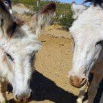 Donkeys in training