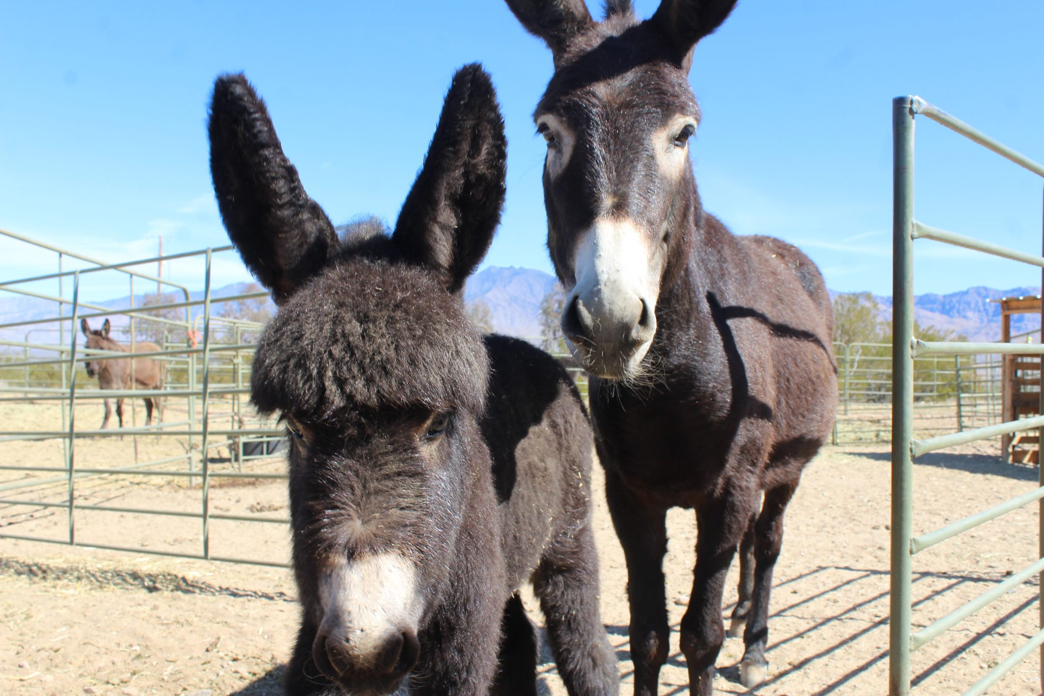 A blustery day for the burros