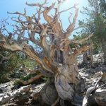 Bristlecone pines in Nevada
