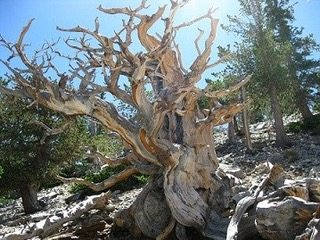 Bristlecone pines in Nevada