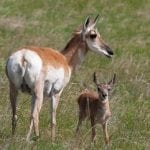An up-close sighting of pronghorn antelope