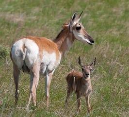 An up-close sighting of pronghorn antelope